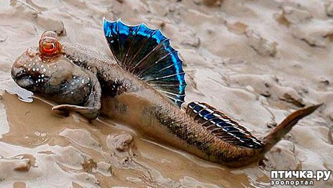 фото 2: Илистый прыгун. Рыба, которая покорила сушу.
