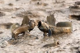 фото 3: Илистый прыгун. Рыба, которая покорила сушу.