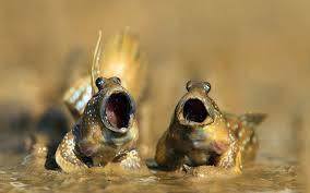 фото 4: Илистый прыгун. Рыба, которая покорила сушу.