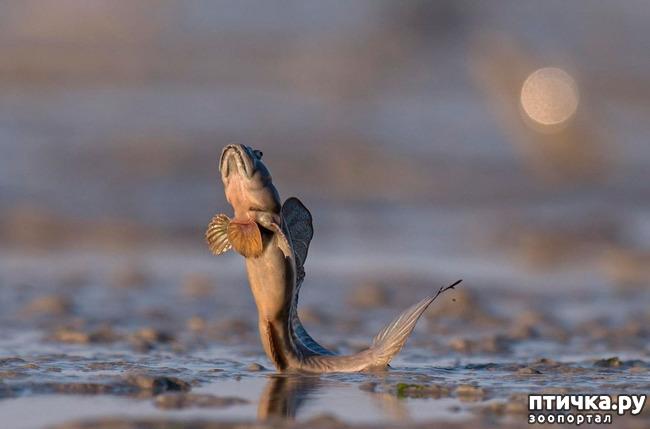 фото 5: Илистый прыгун. Рыба, которая покорила сушу.