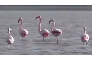 фото: Фламинго прилетели перезимовать на северо-запад Крыма