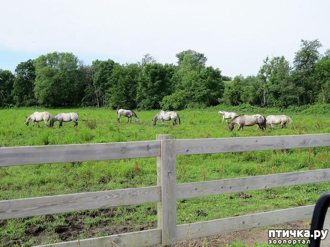 фото 3: Аппалуза: лошадь, похожая на далматинца