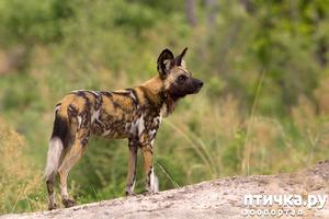 фото: Гиеновая собака