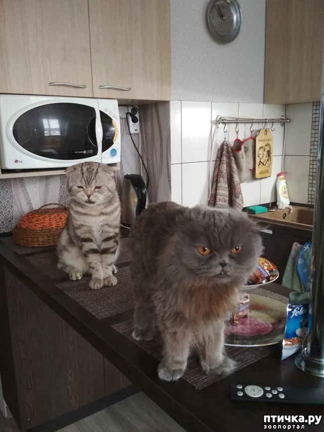 фото 5: Познакомьтесь с моей шотландской котосемьей