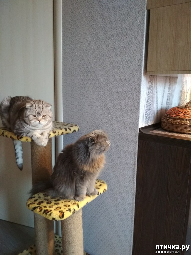 фото 6: Познакомьтесь с моей шотландской котосемьей