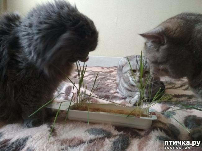 фото 7: Познакомьтесь с моей шотландской котосемьей