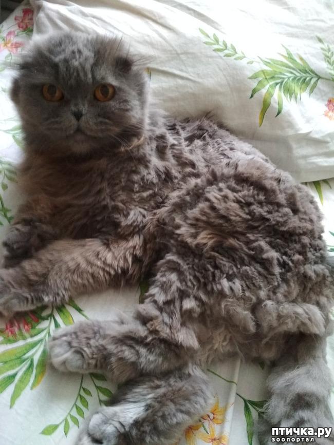 фото 1: Познакомьтесь с моей шотландской котосемьей
