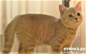 фото: Мои любимые коты - Персиваль ( по-домашнему Персик ) - продолжение