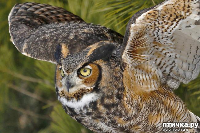 фото 5: Продолжаем знакомиться с совами. Общие сведения о совах.