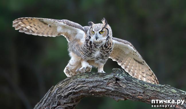 фото 8: Продолжаем знакомиться с совами. Общие сведения о совах.