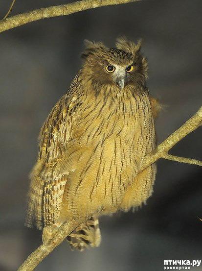 фото 9: Продолжаем знакомиться с совами. Общие сведения о совах.