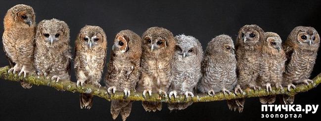 фото 1: Продолжаем знакомиться с совами. Общие сведения о совах.