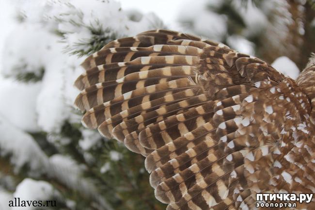 фото 2: Продолжаем знакомиться с совами. Общие сведения о совах.