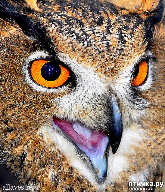 фото 4: Продолжаем знакомиться с совами. Общие сведения о совах.