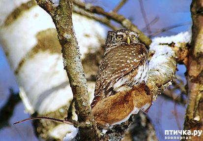 фото 11: Продолжаем знакомиться с совами. Общие сведения о совах.