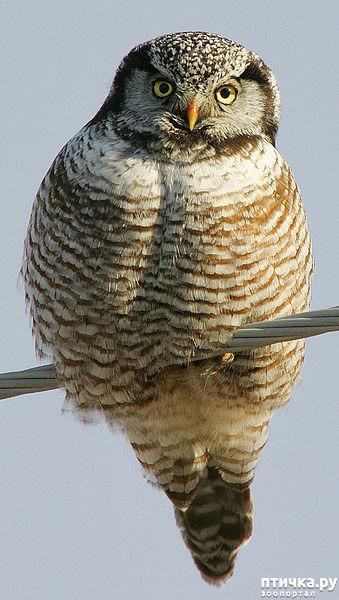 фото 12: Продолжаем знакомиться с совами. Общие сведения о совах.