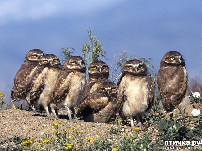 фото 6: Продолжаем знакомиться с совами. Общие сведения о совах.