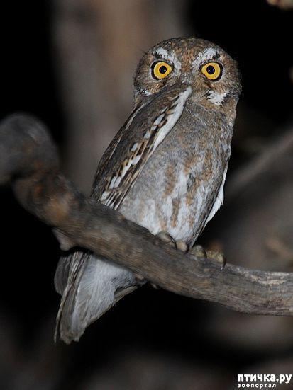 фото 7: Продолжаем знакомиться с совами. Общие сведения о совах.