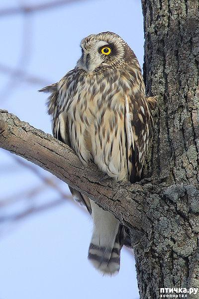 фото 15: Продолжаем знакомиться с совами. Общие сведения о совах.