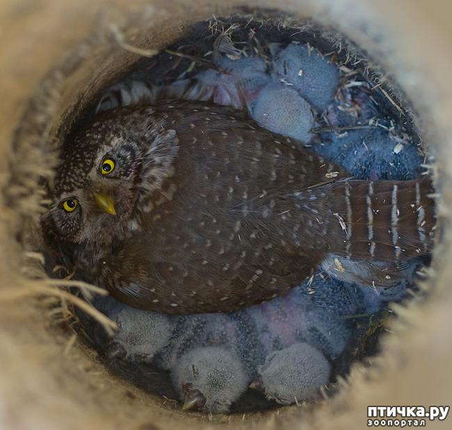 фото 18: Продолжаем знакомиться с совами. Общие сведения о совах.