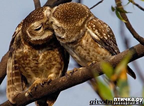 фото 17: Продолжаем знакомиться с совами. Общие сведения о совах.