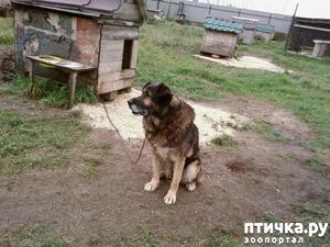 фото: Собака на доживании. Булькина история.
