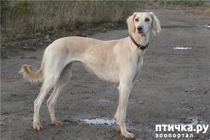 фото: Собака породы тазы