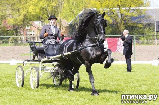 фото 3: Фризская лошадь: гордость рыцарства, достояние королей и черная жемчужина Голландии