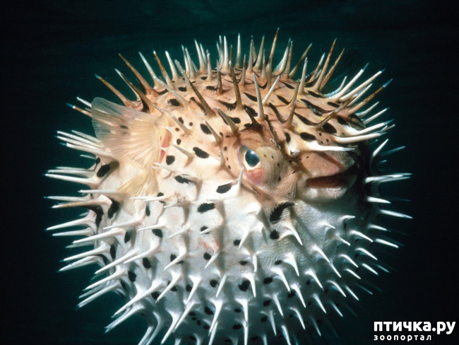 фото 2: Японский иглобрюх - рыба-архитектор