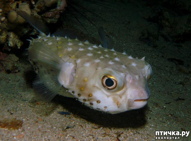 фото 7: Японский иглобрюх - рыба-архитектор