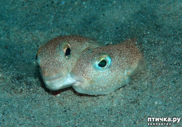 фото 8: Японский иглобрюх - рыба-архитектор