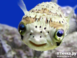 фото: Японский иглобрюх - рыба-архитектор