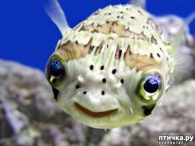 фото 1: Японский иглобрюх - рыба-архитектор