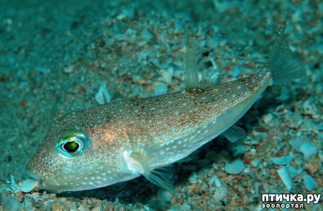 фото 11: Японский иглобрюх - рыба-архитектор