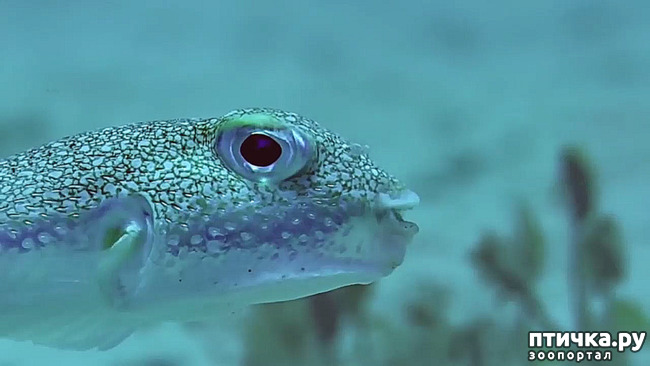 фото 12: Японский иглобрюх - рыба-архитектор