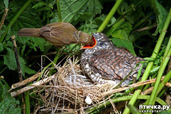 """фото 2: """"Синдром кукушки"""". Гнездовой паразитизм."""