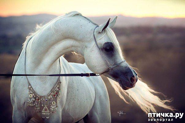 фото 3: Арабская лошадь - легендарная восточная красота