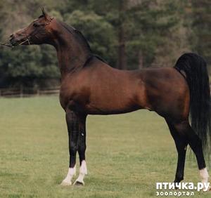 фото 4: Арабская лошадь - легендарная восточная красота