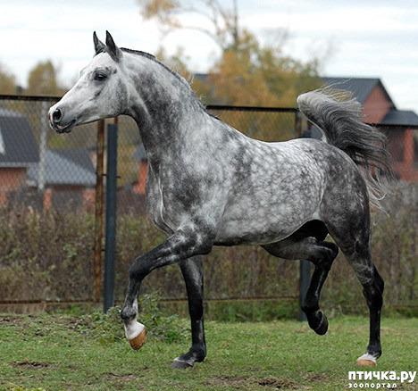 фото 5: Арабская лошадь - легендарная восточная красота