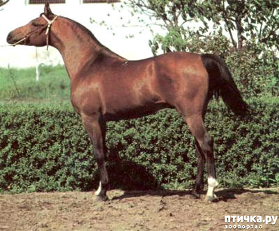 фото 6: Арабская лошадь - легендарная восточная красота