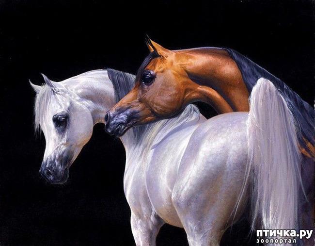 фото 2: Арабская лошадь - легендарная восточная красота