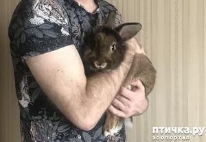 фото: Симпатичный декоративный кроля с торчащими ушками ищет подружку. Вязка. Кролик. СПб
