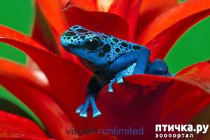 фото: Дендробатис Азуреус или голубой древолаз.