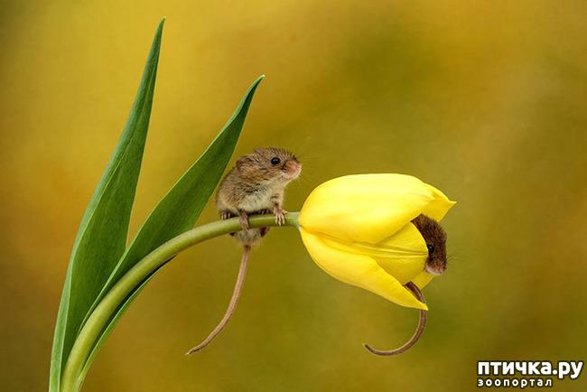 фото 5: Мышки - норушки