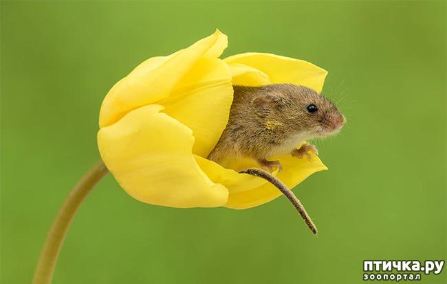 фото 6: Мышки - норушки