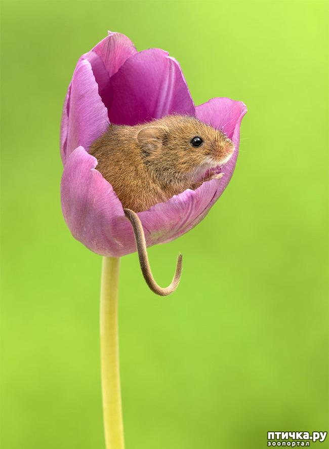 фото 12: Мышки - норушки