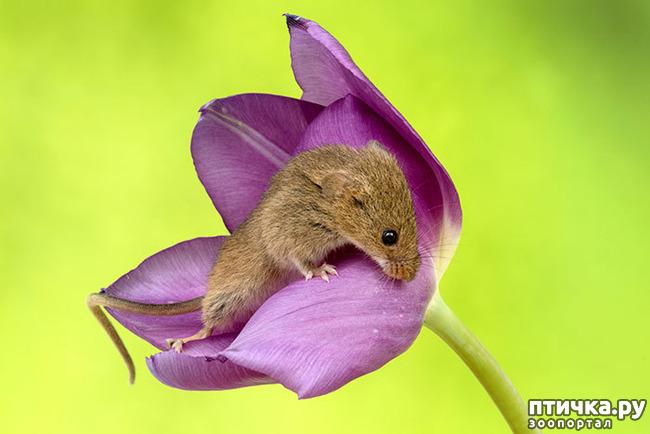 фото 13: Мышки - норушки