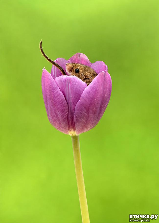 фото 14: Мышки - норушки