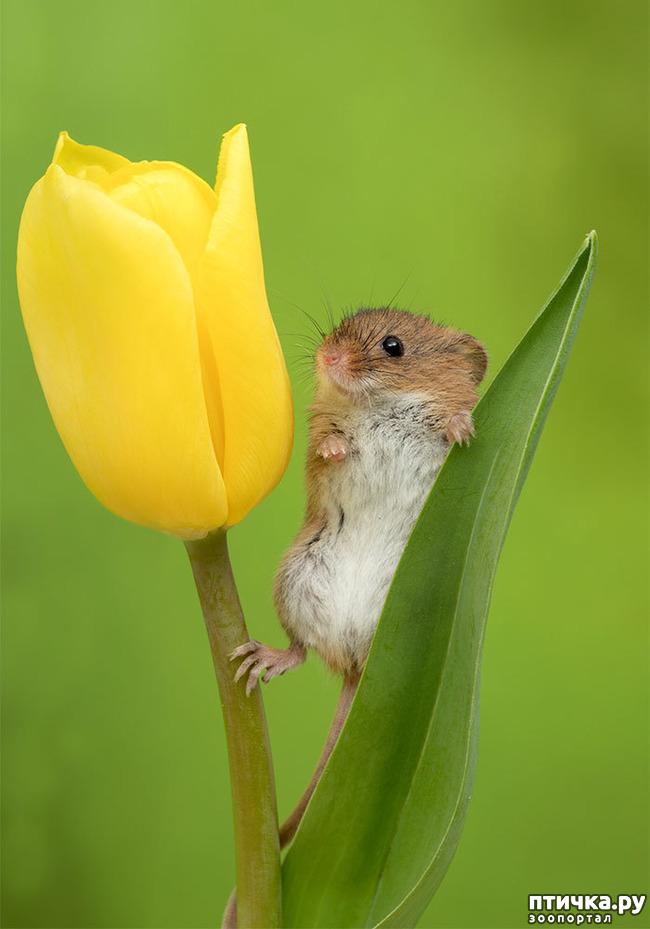 фото 16: Мышки - норушки