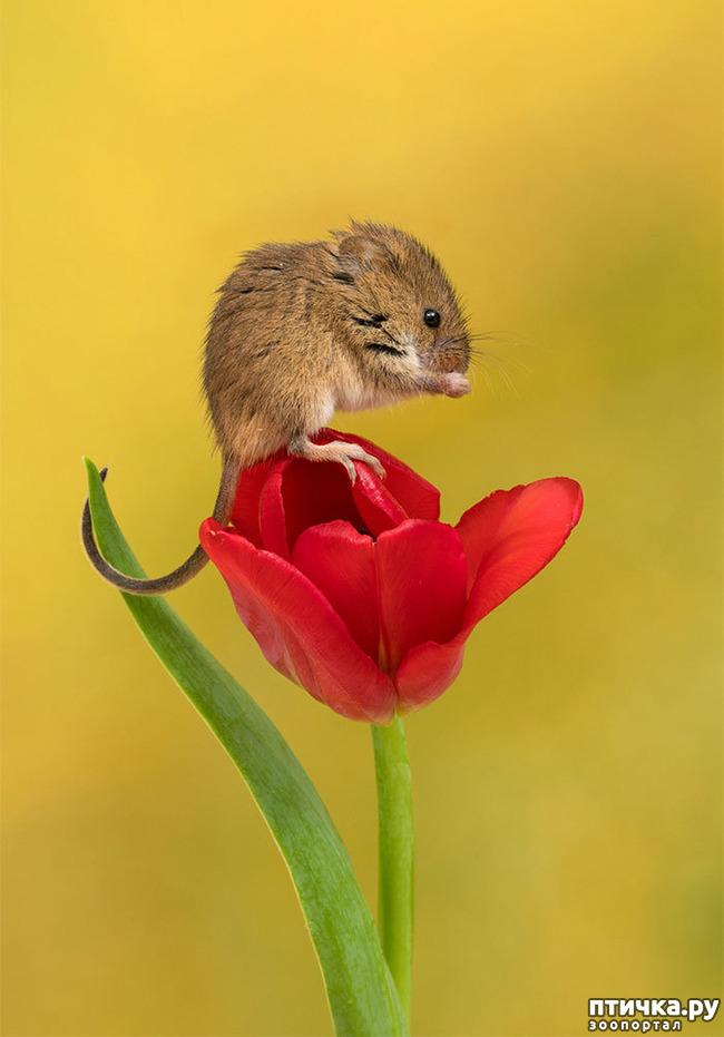 фото 19: Мышки - норушки